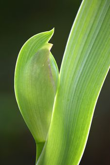 Leaf And Bud Of A Iris Flower Royalty Free Stock Image