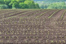 Free Field Of Corn Seedlings Stock Photo - 30968680