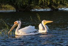 Free Two Pelicans Swimming In The Water At Sunset Stock Images - 30969044
