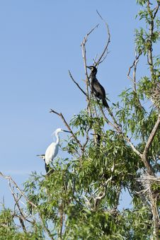 Free Cormorants And Egret Standing In Tree Stock Image - 30969051