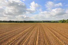 Field Of Corn Seedlings Stock Photo