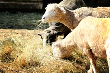 Free Sheep Royalty Free Stock Images - 30969449