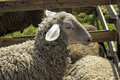 Free Sheep Royalty Free Stock Images - 30977659