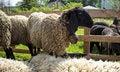 Free Sheep Bell Royalty Free Stock Photos - 30977718