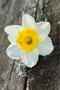 Free Daffodil Stock Image - 30978121