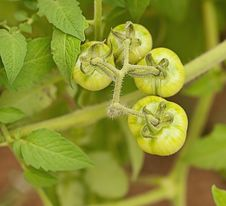Free Organic Immature Green Tomatoes Stock Photos - 30974693