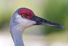 Free Close Up Of Sandhill Crane In Profile Royalty Free Stock Photos - 30976828
