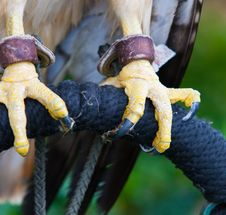 Free Red Tailed Hawk Tallons Stock Photo - 30977420