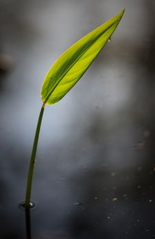 Free Single Leaf Over Reflective Water Of Swamp Stock Photo - 30977450