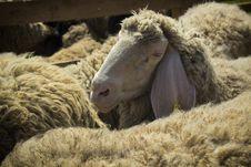 Free Sheep Royalty Free Stock Photography - 30977507