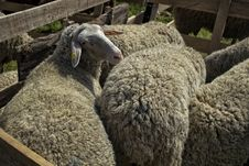 Free Sheeps Royalty Free Stock Photography - 30977767