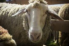 Free Sheep Stock Image - 30977791