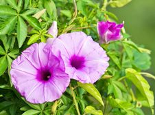 Morning Glory Close Up Royalty Free Stock Image