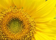 Free Sunflower Close Up Stock Photos - 30978383