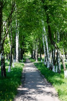 Free Birch Spring Grove  In Countryside With Path Stock Image - 30979151