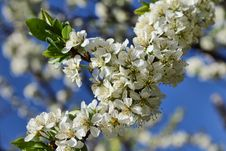Free Blossoming Apple Tree Branch Stock Image - 30980281