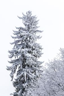 Detail Of A Conifer Covered With Snow Royalty Free Stock Photos