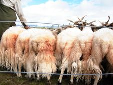 Free Sheeps For Sell Stock Image - 30982911
