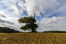 Thousand Year Old Oak In Between A Field Stock Images