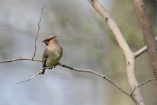 Free Japanese Waxwing Royalty Free Stock Images - 30983919