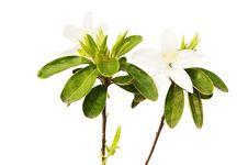 Free Azalea White  Isolated Stock Image - 30984151