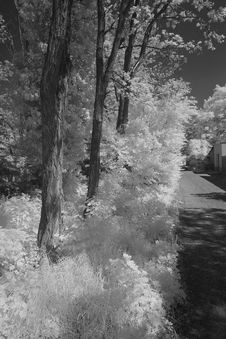 Acacia Trees Ans Bushes Infrared Stock Image