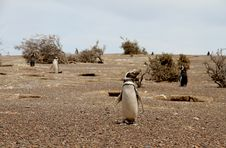Penguins Magellanic In The Wild Nature. Patagonia. Royalty Free Stock Images