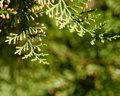 Free Branches Of The Tree Thuja Royalty Free Stock Images - 30993909
