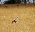 Free Secretary Bird Royalty Free Stock Photos - 30998708