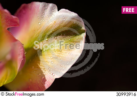 Free Flower Of Tulip With The Water Drops Royalty Free Stock Image - 30993916