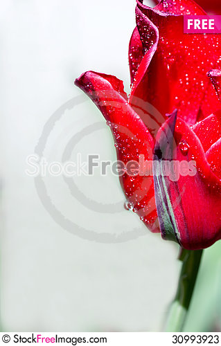 Free Drop Of Water On A Tulip Stock Photos - 30993923