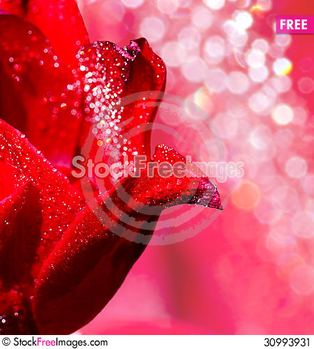 Free Flower Of Tulip With Drops Of Water Stock Image - 30993931