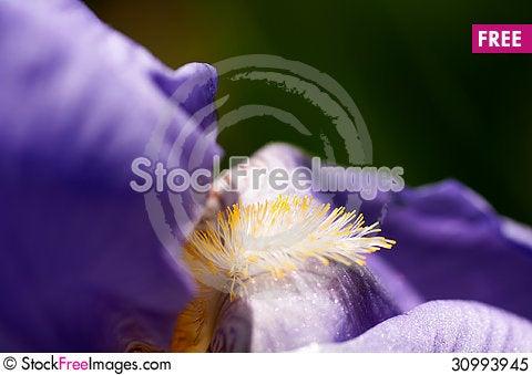 Free Flower Of Iris Macro Royalty Free Stock Photo - 30993945
