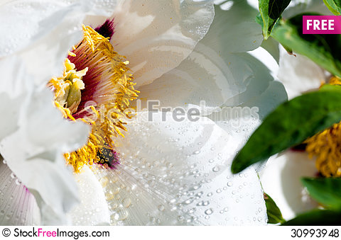 Free Flower Peony With Drops Of Water Royalty Free Stock Photos - 30993948