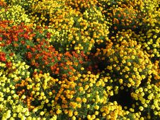 Beautiful Bed Of Flowers Tagetes Stock Images
