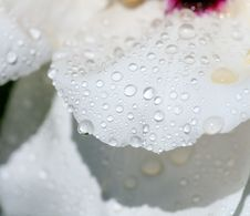Free Water Drops On  Petals Of The Peony Royalty Free Stock Images - 30993939