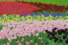 Free Tulip Garden Royalty Free Stock Photography - 30996307