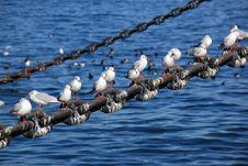 Free Pewit Gull Stock Image - 30996351