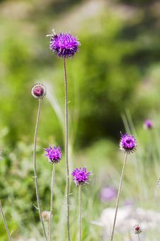 Free Wild Flowers Of Burdock Stock Photography - 30996422