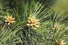 Free Small Bumps On Pine Needles Stock Photos - 30996453