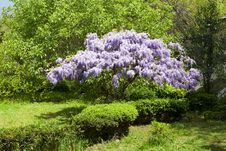 Free Beautiful Flowering Wisteria Tree Royalty Free Stock Photography - 30996837
