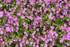 Free Natural Herbal Background Small Pink Flowers Stock Image - 30996891