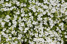 Free Natural Herbal Background Small White Flowers Royalty Free Stock Images - 30996919