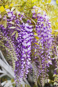 Free Clusters Of Wisteria Blossoms Royalty Free Stock Image - 30996996