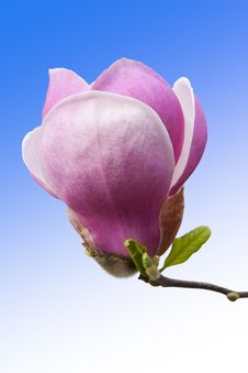 Free Pink Magnolia Flower Bud Closeup Royalty Free Stock Photos - 30997018