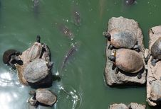Free Sunbathing Turtles Royalty Free Stock Photo - 30997395