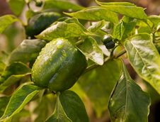 Free Fresh Green Produce Growing Capsicum Stock Images - 30998304