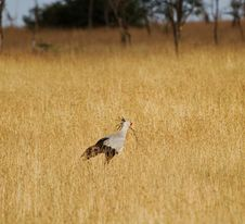 Free Secretary Bird Royalty Free Stock Photos - 30998708