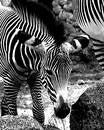 Free Zebra Colt Stock Images - 316894
