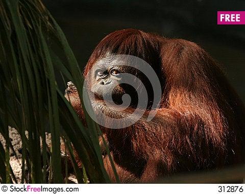 Free Orangutan Royalty Free Stock Image - 312876